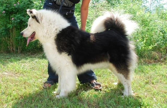 Лайка – выбор щенка