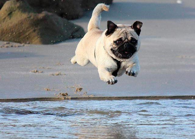 мопс бежит