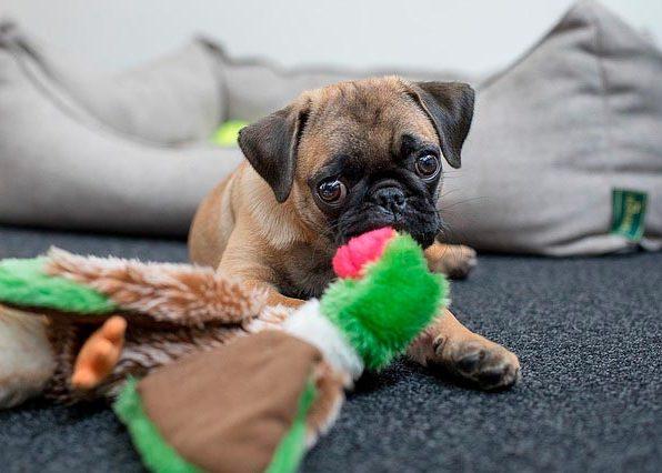 мопс с игрушкой