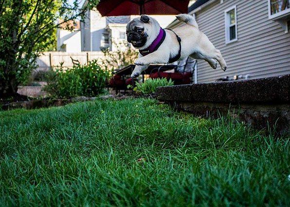 мопс в прыжке