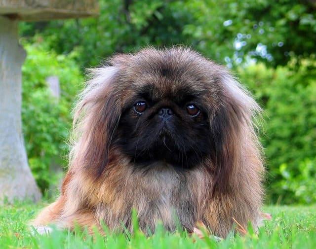 Пекинес – декоративная порода собак