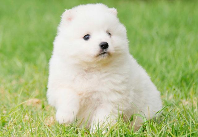 белый шпиц щенок