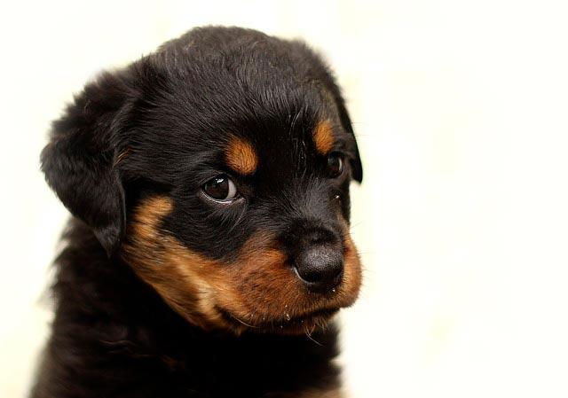 Ротвеллер щенок