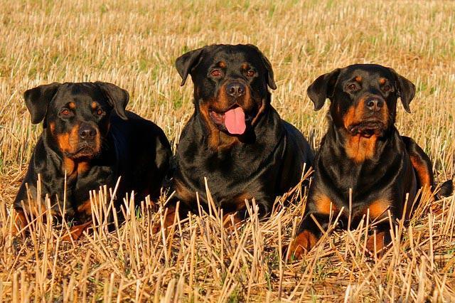 Три ротвеллера