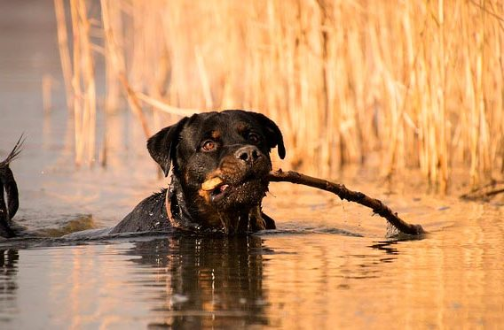 ротвеллер в озере