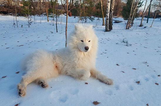 самоед на снегу