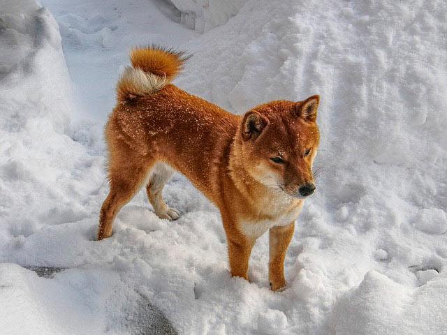 сиба bye на снегу