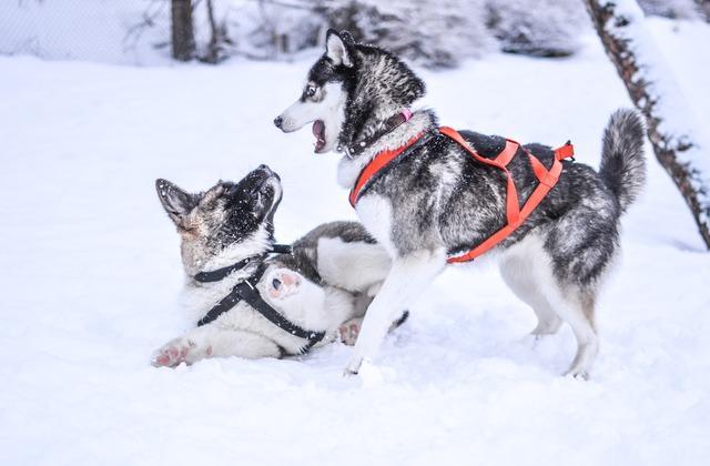 Сибирский хаски – игра на снегу