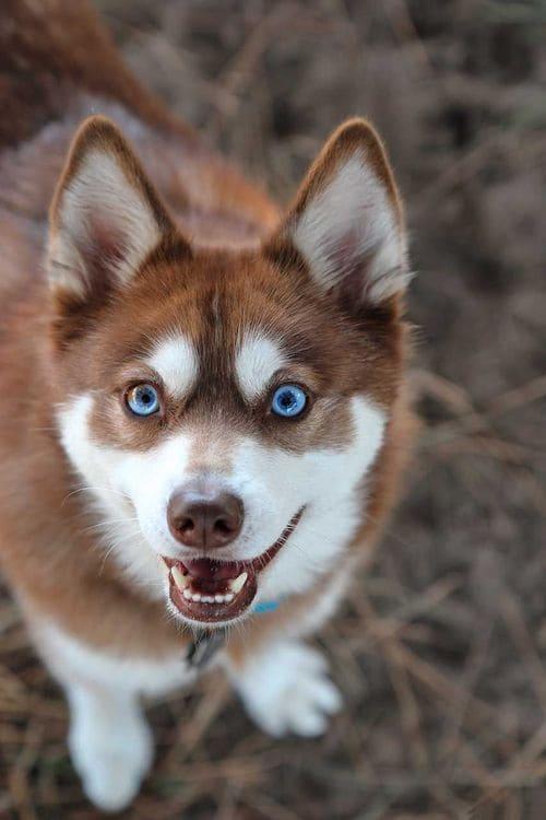 Собака кли-кай рыжего окраса