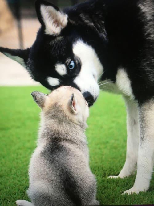 Собака кли-кай – уход за шерстью