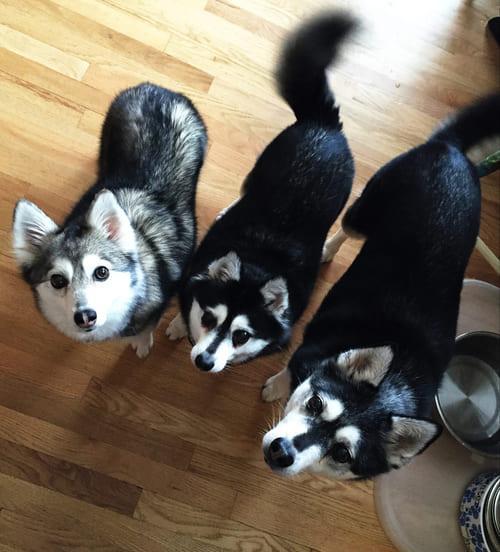 Собака кли-кай – характеристика породы