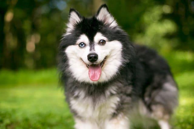 Морда собаки кли-кай