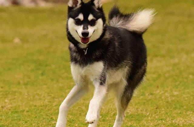 Собака кли-кай – взрослая особь