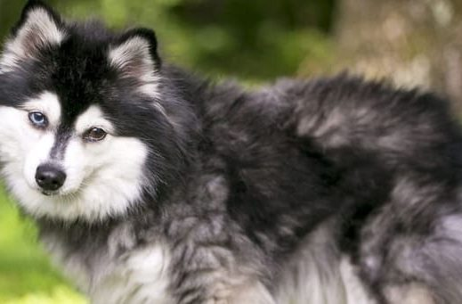 Собака кли-кай – вид сбоку
