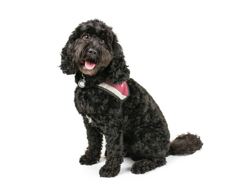 Собака кокапу – главное фото
