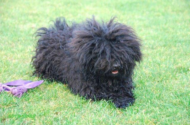 Черный пес – венгерская овчарка