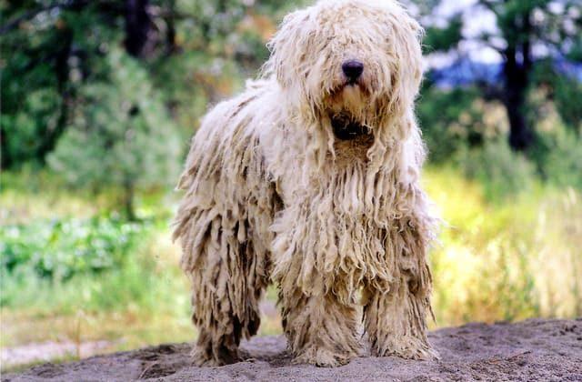 Собака породы венгерская овчарка белого окраса