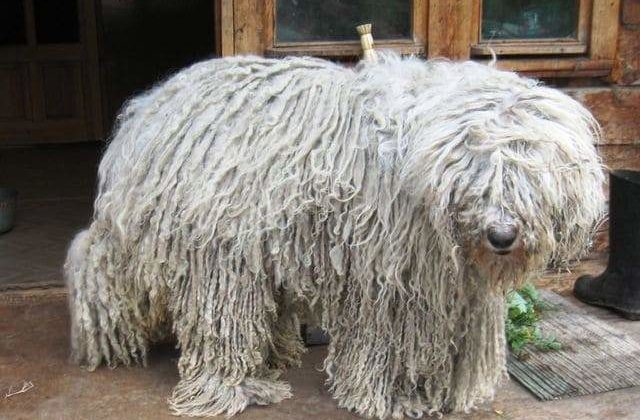 Венгерская овчарка – содержание