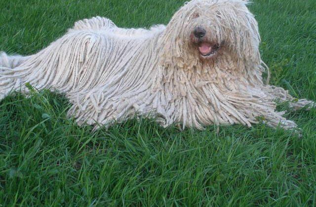 Венгерская овчарка лежит на траве