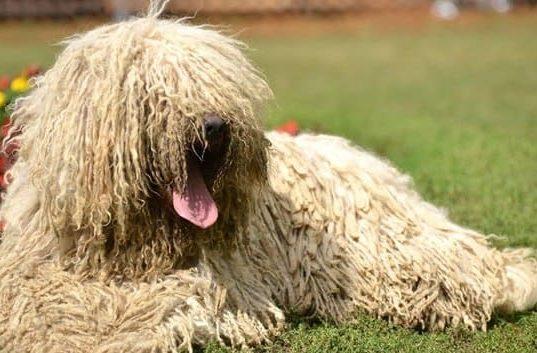 Венгерская овчарка – крупная порода собак