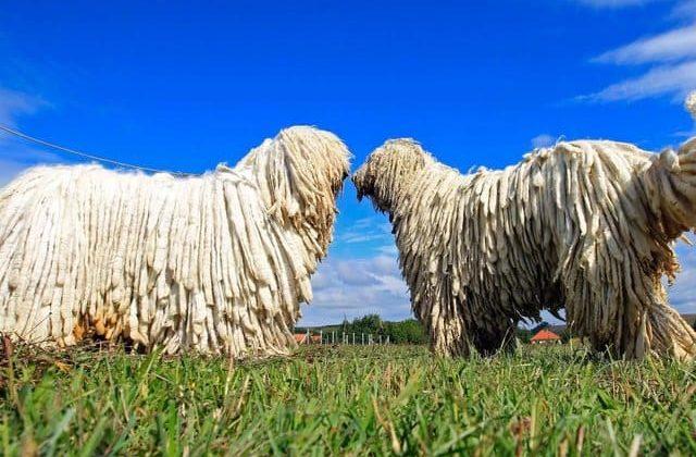 Венгерские овчарки на прогулке