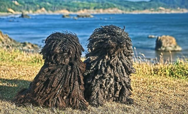 Собаки породы венгерская овчарка