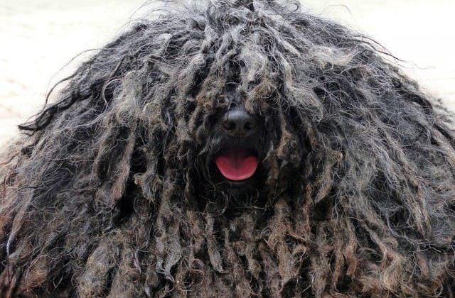 Венгерская овчарка – голова собаки