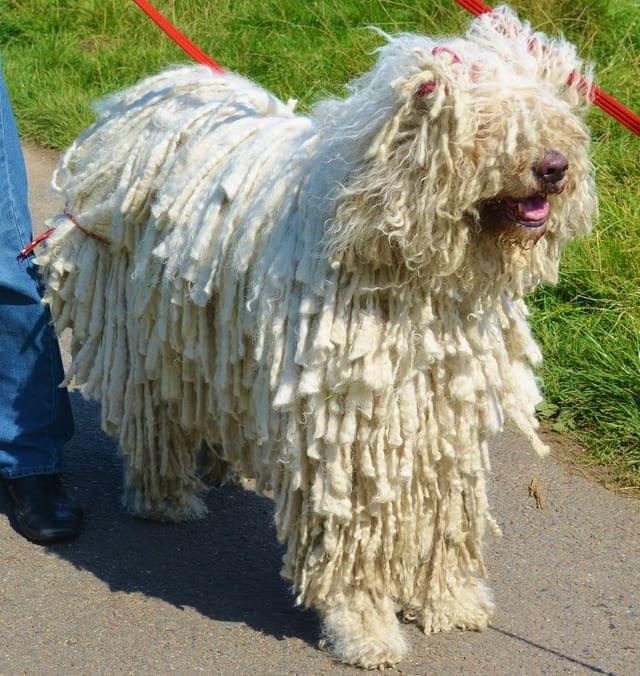 Венгерская овчарка – выгул собаки
