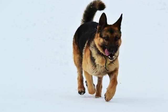 Восточно-европейская овчарка – собака в полный рост