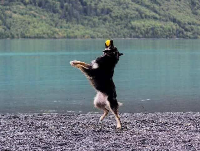 Восточно-европейская овчарка с мячом в прыжке