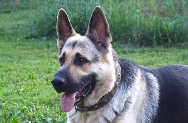 Взрослая собака – восточно-европейская овчарка