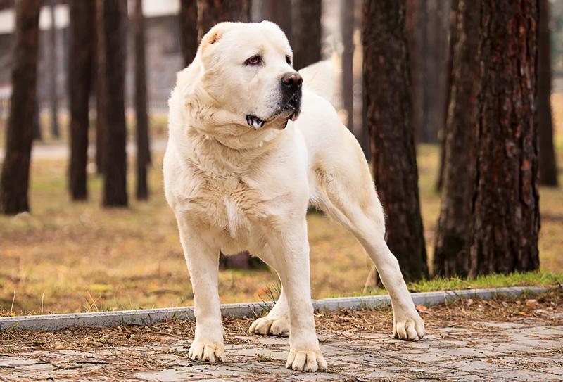 собака алабай