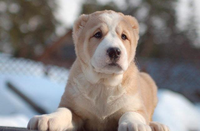 щенок алабая