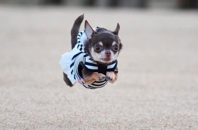 чихуахуа в прыжке