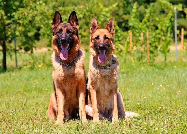две немецкие овчарки