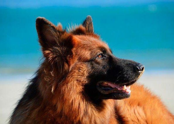 немецкая овчарка на пляже