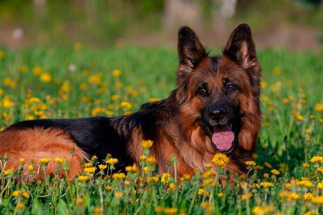 немецкая овчарка в цветах