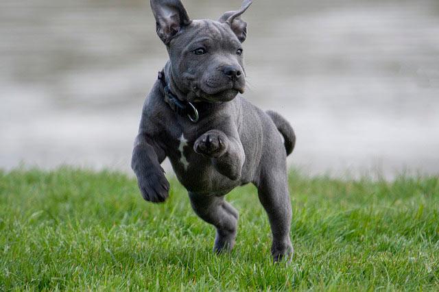 щенок аммстаффа