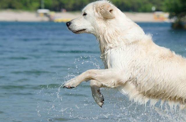 Абруццкая овчарка – игры в воде