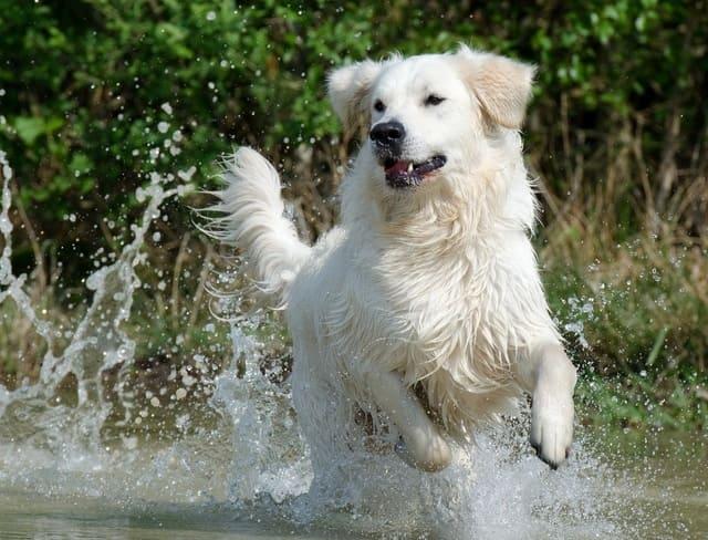 Маремма – бегущая в воде собака