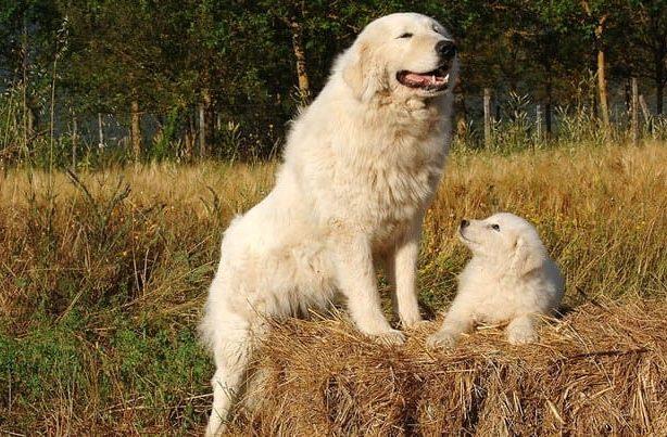 Абруццкая овчарка – взрослая собака и щенок