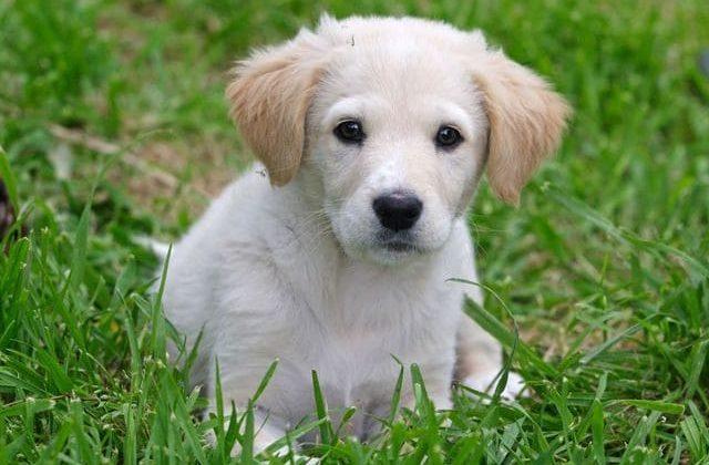 Забавный щенок породы маремма