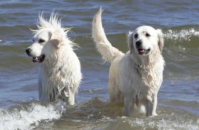Две собаки породы абруццкая овчарка