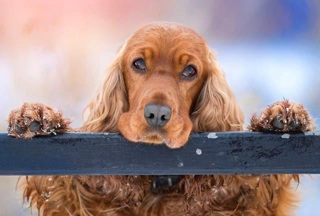 Американский кокер-спаниель – голова собаки