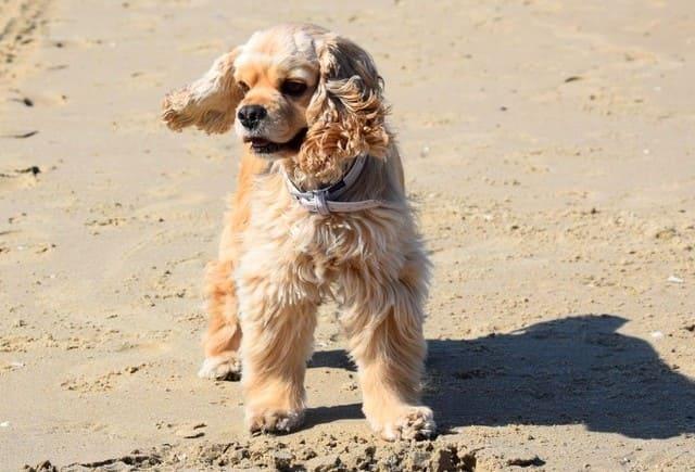 Американский кокер-спаниель на пляже