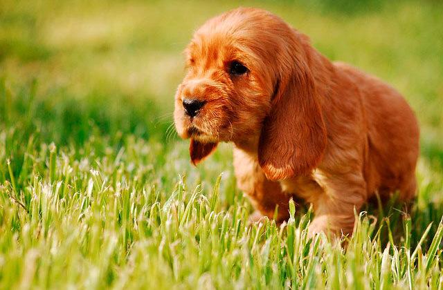 Английский кокер-спаниель щенок на траве