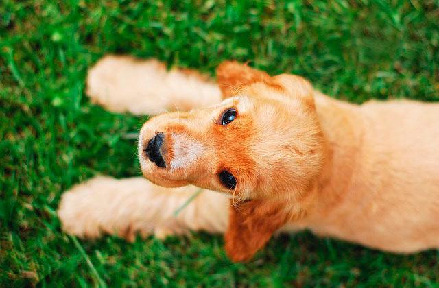 Английский кокер-спаниель щенок
