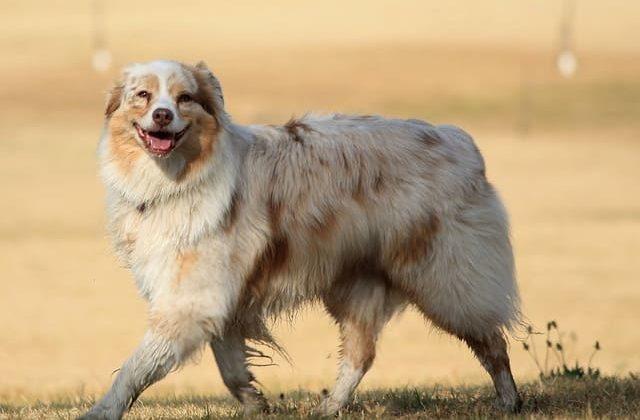 Австралийская овчарка аусси на прогулке