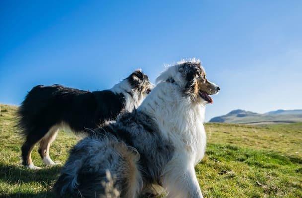 Две собаки породы австралийская овчарка