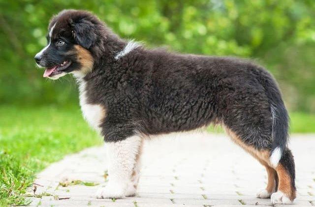 Черный щенок породы Австралийская овчарка аусси